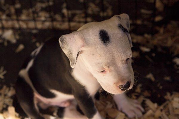 pitbull-puppy